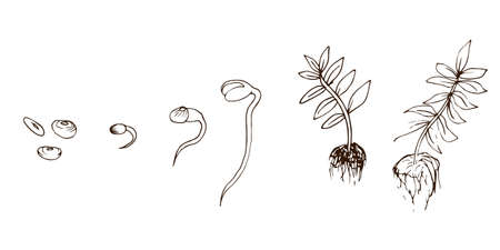 Beans icons growth process in hand drawn style. Vector illustration