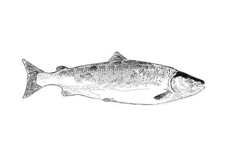 coho: vector of Salmon fish. Hand drawn illustration.