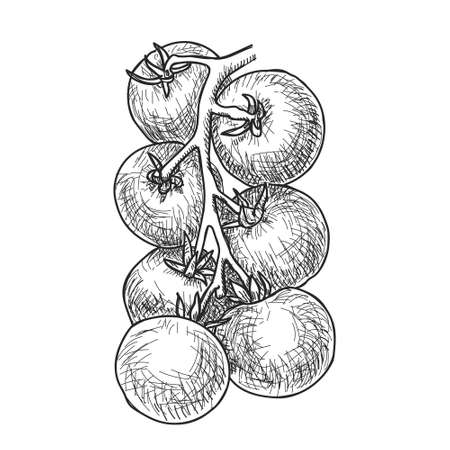 Hand drawn sketch of ripe cherry tomatoes on branch.
