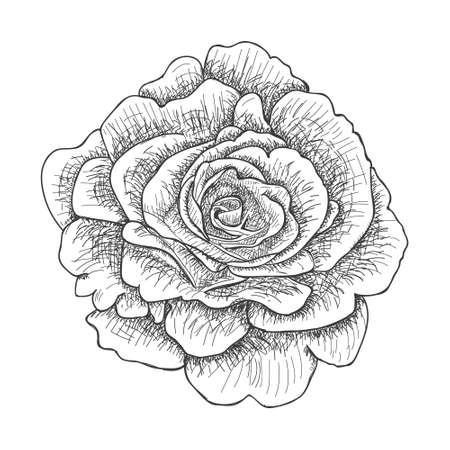Illustration with rose. Vector. Hand drawn ink style