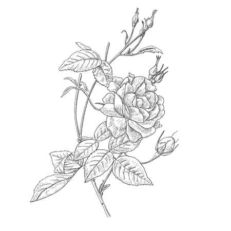 Hand drawn and sketch design Fairy Rose or Pygmy Rose , tropical Flower