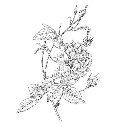 Hand drawn and sketch design Fairy Rose or Pygmy Rose , tropical Flower Foto de archivo - 96868235