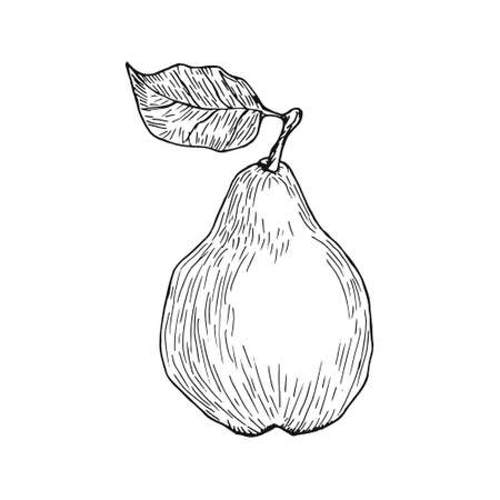Hand drawn pear   Vector illustration.