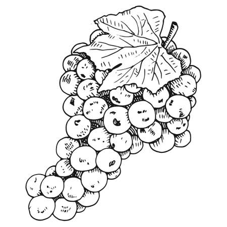 Hand drawn grape wine vector illustration on white background