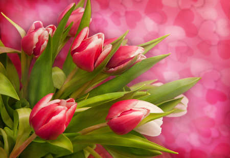 Pink tulips on pink background photo