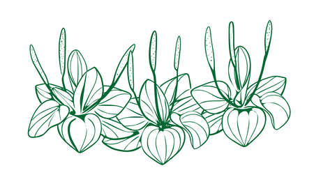 Illustration. Plantain plant, black and white on an isolated background vector. 向量圖像