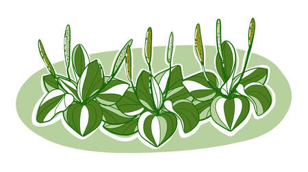 Illustration. A plant of plantain collected in the vignette, the color on the isolated background vector. 向量圖像
