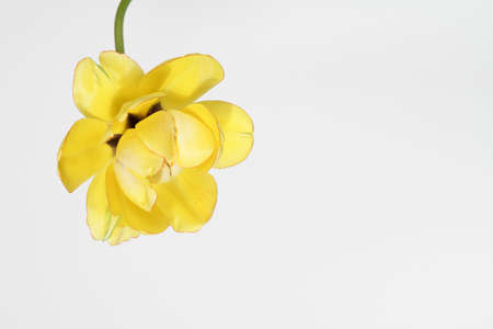 yellow tulip on white background.copy space. design for holiday card. spring concept. Background for wedding greeting, Mother's day, Women's day card.