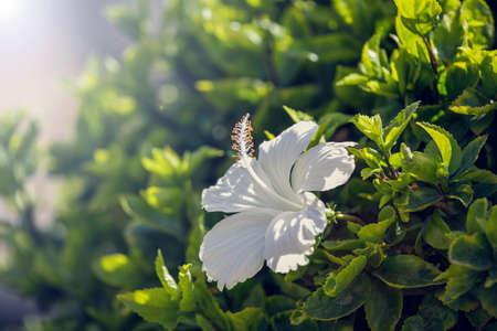 beautiful white flower in green foliage. Minimal nature background.