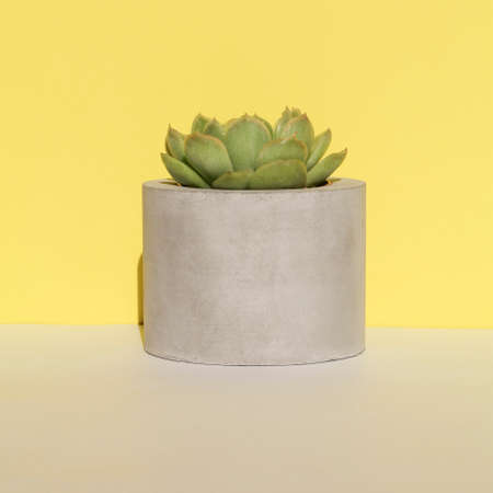 succulent in concrete pot on yellow background .home decoration. minimal nature background. garden and minimal floral concept. square