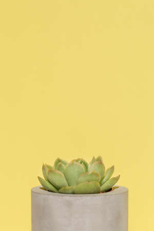 succulent in concrete pot on yellow background .home decoration. minimal nature background. garden and minimal floral concept. copy space