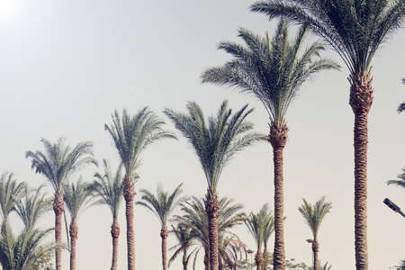 Palm trees against the blue sky. nature background. Travel tropical summer holiday concept. Vintage tone. copy space