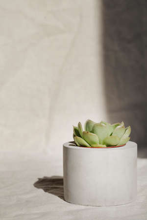 succulent in concrete pot with deep shadow on crumpled gray textile .home decoration. minimal nature background. garden and minimal floral concept. Stock fotó