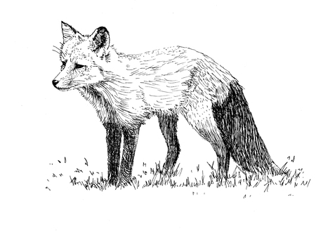 illustration of a hunting fox Illustration