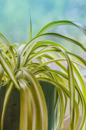 Chlorophytum, indoor potted plant, close-up blue background