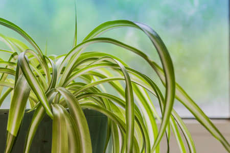 Chlorophytum, houseplant in a pot, close-up on a blue background - image