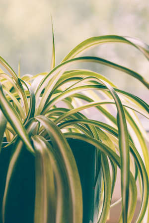 Chlorophytum, indoor potted plant, closeup vintage toning - image