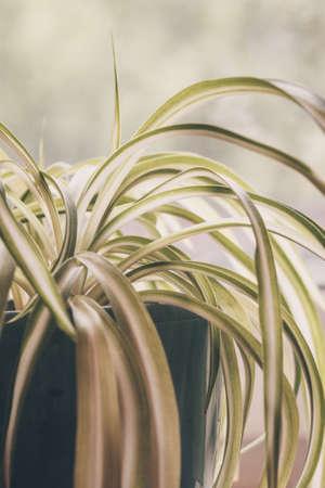 Chlorophytum, indoor potted plant, close-up vintage pastel toning indoors - image