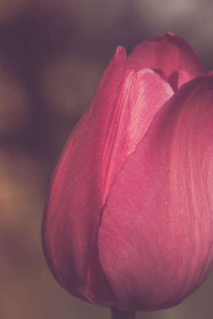 Red flower tulip close-up on a green background retro style outdoors - image