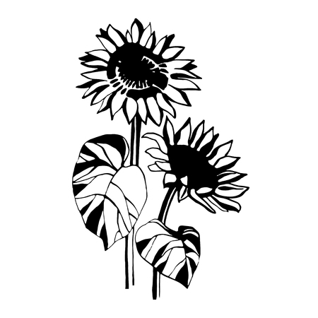 Sunflower vector graphics.