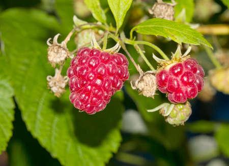 sweet ripe raspberry Zdjęcie Seryjne