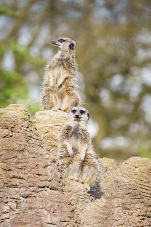 mongoose: funny meerkats mongoose observing  Stock Photo