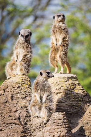 mongoose: meerkats mongoose observing Stock Photo