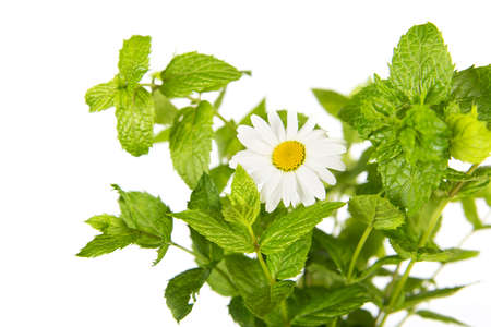 Fresh mint isolated in white  Stock Photo