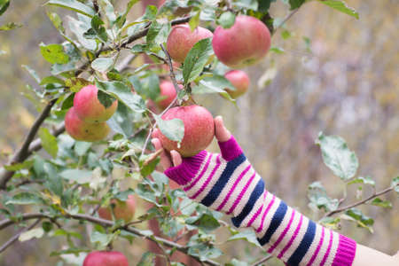 Fresh apple crop outdoors photo