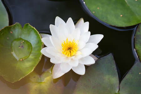 Perfect white Water lily in the pond photo
