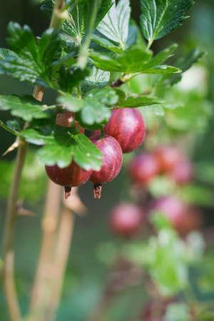 gooseberry bush: Fresh gooseberry on a bush in garden Stock Photo