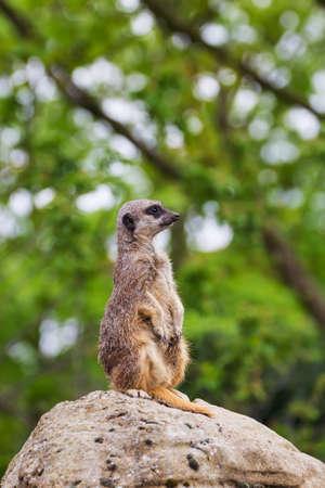 mangosta: suricatas mongoose observaci�n Foto de archivo