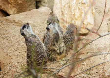 observing: meerkats mongoose observing Stock Photo