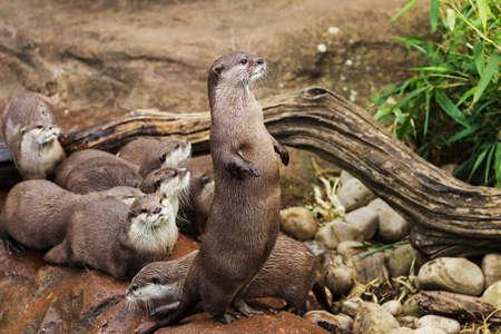 aonyx: Lovely playful otters