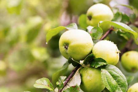 farming plant: Fresh apple crop outdoors Stock Photo