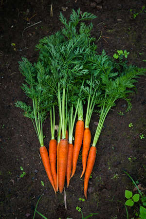 carrot: Carrot growing in the garden