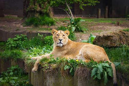 animales del zoologico: Precioso leona relajarse en el zool�gico