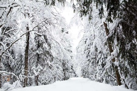 winter forest: Russian winter forest in snow
