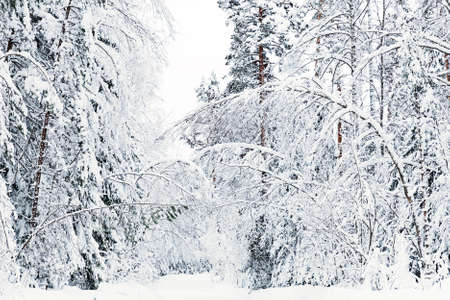 wintery day: russian winter forest road in snow Stock Photo