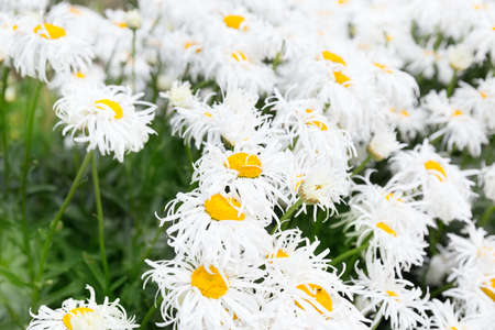 ox eye: White crazy ox eye daisy background outdoors Stock Photo