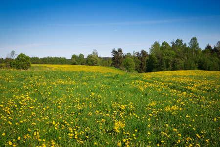 dandelion field: Idylic country scene dandelion field blue sky
