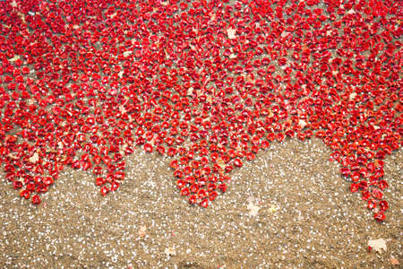London, United Kingdom, November 12, 2014: Ceramic poppies installation at Tower of London by Paul Cummins and Tom Pipe on October 11, 2014 commemorate the 888,246 British and colonial military who died in the 1914-1918 First World War, installed at the T