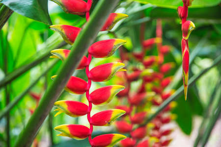 heliconia tropical flower in the asian park