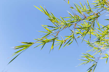 Bamboo tree in front os blue sky background