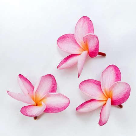 Frangipani plumeria flowers on a white background