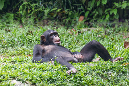 chimpanzee lying and relax on a green grass