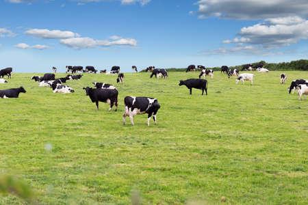 Vaches de ferme parfaites sur un champ de prairie verte
