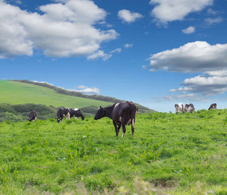 Perfect farm cows on a green meadow field