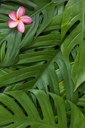 Monstera liana, vine top view still life  with frangipani plumeria flower tropical wallpaper flat lay layout