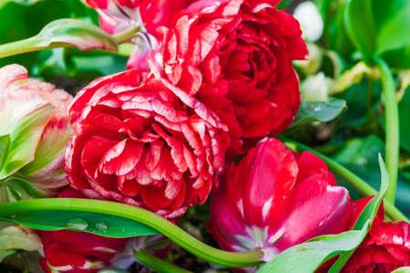 beautiful red tulips close up: Beautiful red tulips taken close up Stock Photo